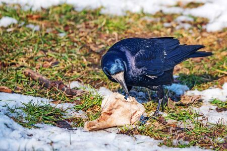 carrion: Rooks is eating carrion on the skull and bones of fallen animal Stock Photo
