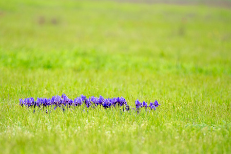 efflorescence: Violet wild iris is blossoming in steppe