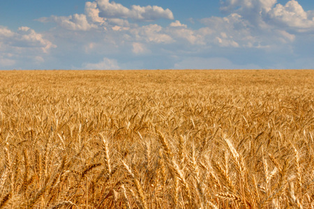 Photograhy of beautiful field with ripe wheat