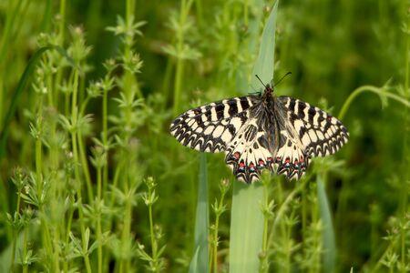 festoon: Southern Festoon (Zerynthia polyxena) butterfly on meadow Stock Photo
