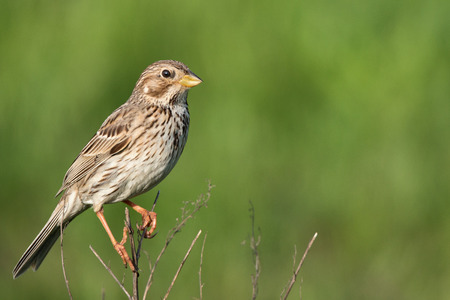 Wild corn bunting (Emberiza calandra) singing on a twig 免版税图像 - 58454920