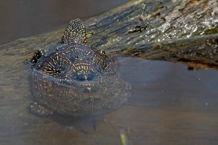emys: European pond turtle (Emys orbicularis) on a log in pond Stock Photo