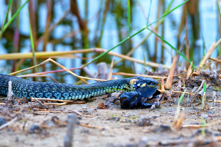 grass snake: Grass snake (Natrix natrix) is eating its prey Stock Photo