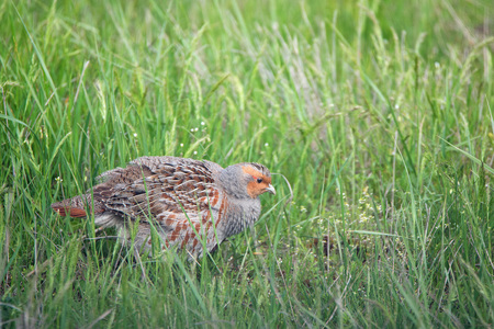 wildfowl: Closeup grey partridge (Perdix) in grass in meadow