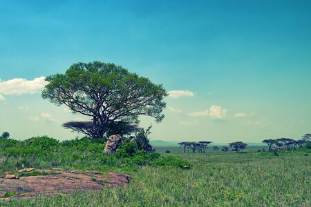 acacia tree: Scenic savanna landscape with acacia tree and beautiful sky