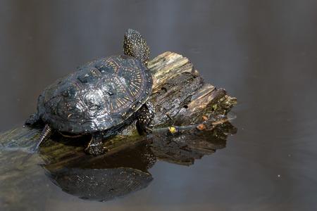 emys: European pond turtle or Emys orbicularis on a log in pond