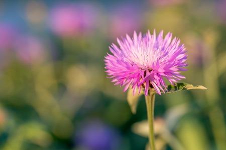 pedicel: Flower of the whitewash cornflower or Centaurea dealbata