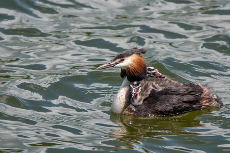 cristatus: Great crested grebe or Podiceps cristatus with nestlings on the water