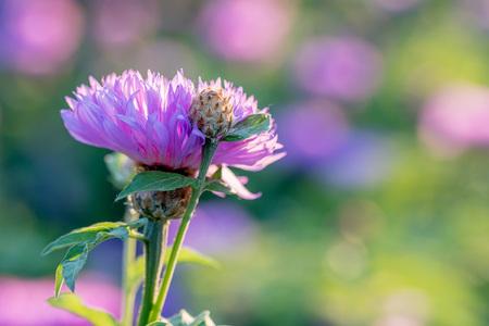 whitewash: Flower of the whitewash cornflower or Centaurea dealbata