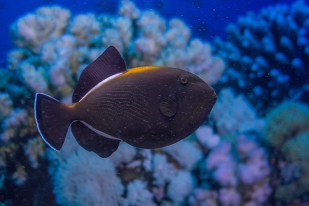 marine aquarium: Indian triggerfish or Melichthys indicus in marine aquarium Stock Photo