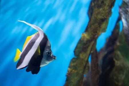 sailfin: Pennant coralfish or Heniochus acuminatus in marine aquarium Stock Photo