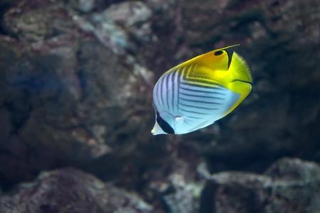 sailfin: Threadfin butterflyfish or Chaetodon auriga in marine aquarium