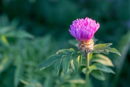 Flower of the whitewash cornflower or Centaurea dealbata