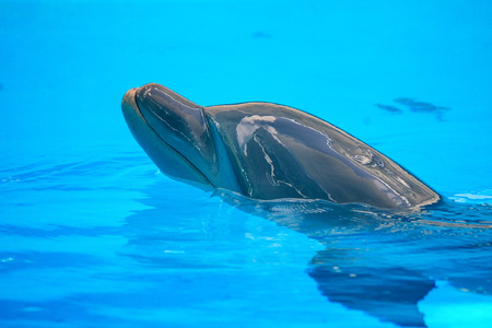 Common dolphin close-up portrait in blue water