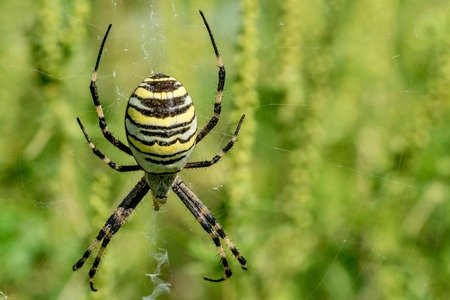 araneidae: Wasp spider or Argiope bruennichi on its web Stock Photo