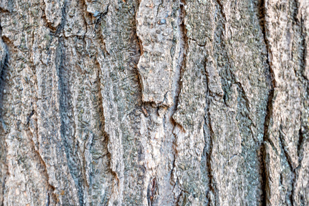 sulcus: Poplar bark macro photograph for closeup texture Stock Photo