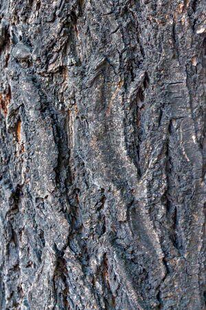 sulcus: Apricot bark macro photograph for closeup texture