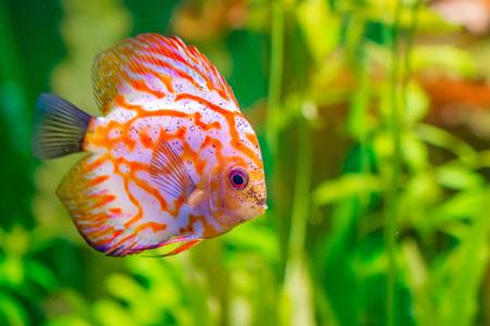 Vividly colored discus or Symphysodon between aquarium plants Stock Photo