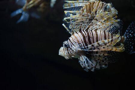 scorpionfish: Scorpionfish Scorpaena is swimming near coral reef