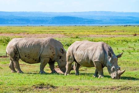 nakuru: White rhinoceros or Ceratotherium simum grazing in national park Lake Nakuru, Kenya