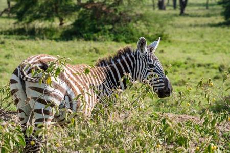 nakuru: Male zebra grazing in savanna with green grass background Stock Photo