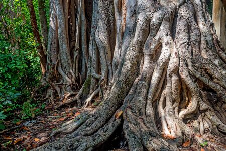 centenarian: Big roots of ficus or banyan above the surface in jungle