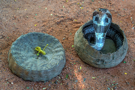 charmer: Dancing indian cobra in a hamper of snake charmer