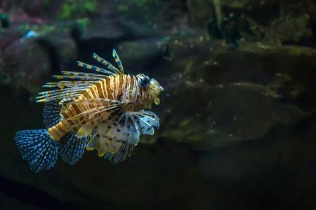 scorpionfish: Scorpionfish in the sea