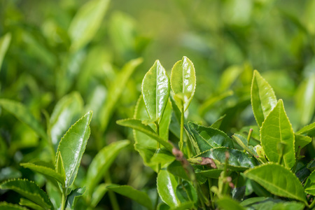 Close-up photograph of tea plant Stock Photo