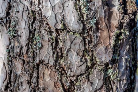 sulcus: Pine bark macro Stock Photo