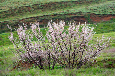 Lonely apricot tree at flowering time