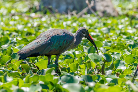 naivasha: Hadada ibis or Bostrychia hagedash is wading in the swamp