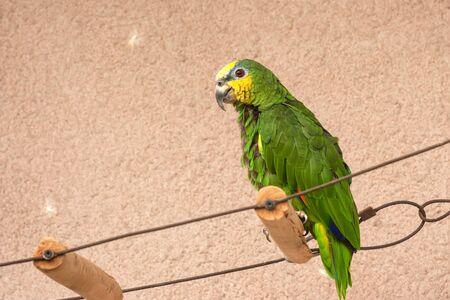 Captive Orange-winged Amazon parrot