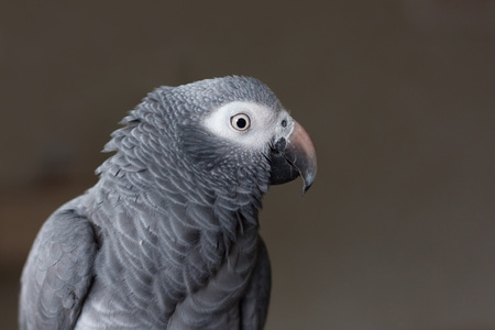 rain forest animal: African timneh grey parrot Stock Photo
