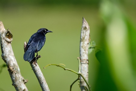 puertorico: Greater Antillean Grackle Stock Photo