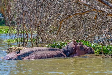 amphibius: Hippo or Hippopotamus amphibius