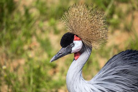 Crowned Crane or Balearica pavonina