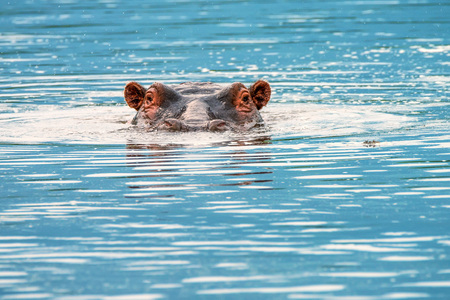 Close-up of hippo