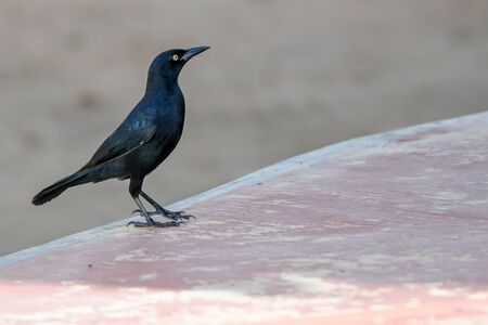 Greater Antillean Grackle Stock Photo