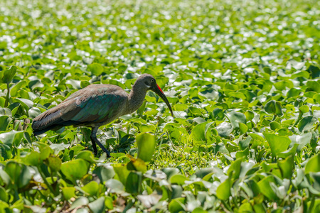 naivasha: Hadada ibis or Bostrychia hagedash Stock Photo
