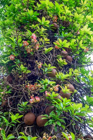 Couroupita guianensis or cannonball tree