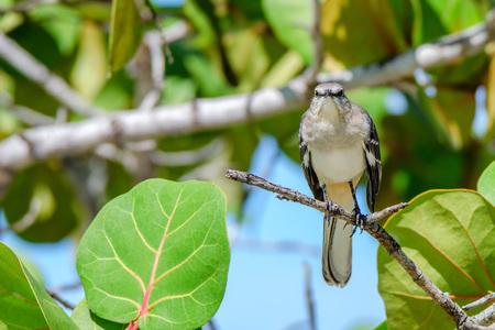 mockingbird: Northern mockingbird or mimus polyglottos