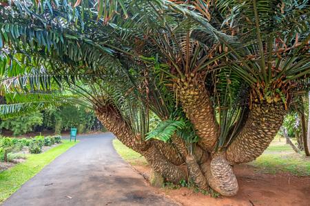 cycad: Mombasa cycad tree