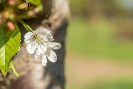 sky brunch: Bird-cherry flowers in sunny day