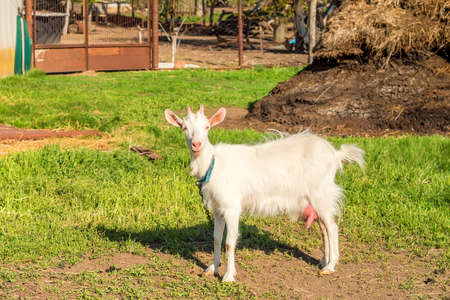 White female goat Stock Photo