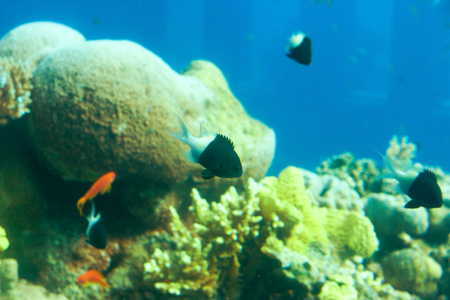 Bicolor Chromis or Chromis margaritifer