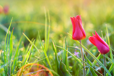 Wild red tulip in steppe Stock Photo