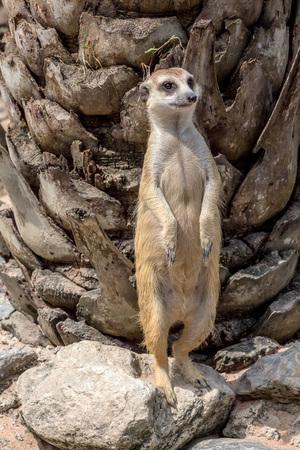 Meerkat or Suricata Suricatta Stock Photo