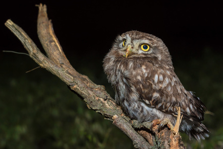 Little owl or Athene noctua perched on branch Stock Photo