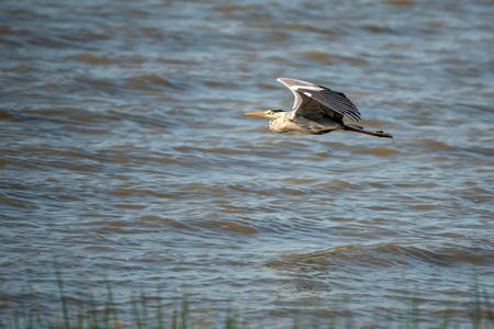 gray herons: Grey heron flying